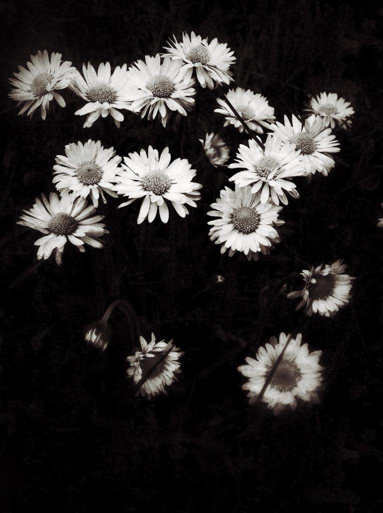 Daisies by Jaklyn Larsen