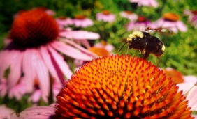 What bumble bee can resist a beautiful coneflower?