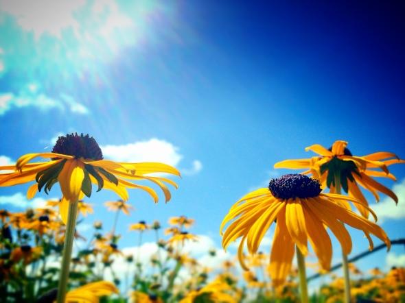 Yellow coneflowers bask in the beautiful Oregon sun...