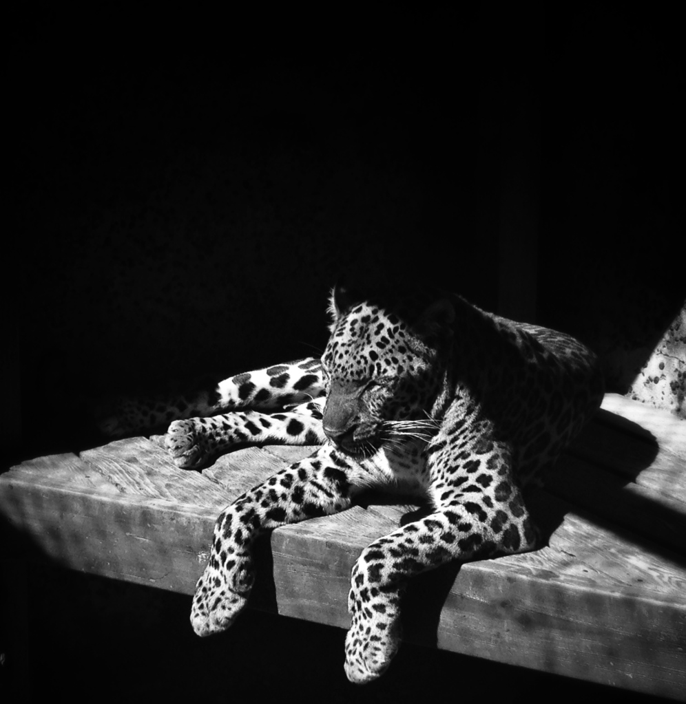 Half-hidden by the shadows, the leopard lounged on its perch, watching people pass it by...