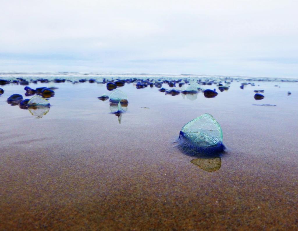 Velella on the Oregon coast. Photo by Jaklyn Larsen
