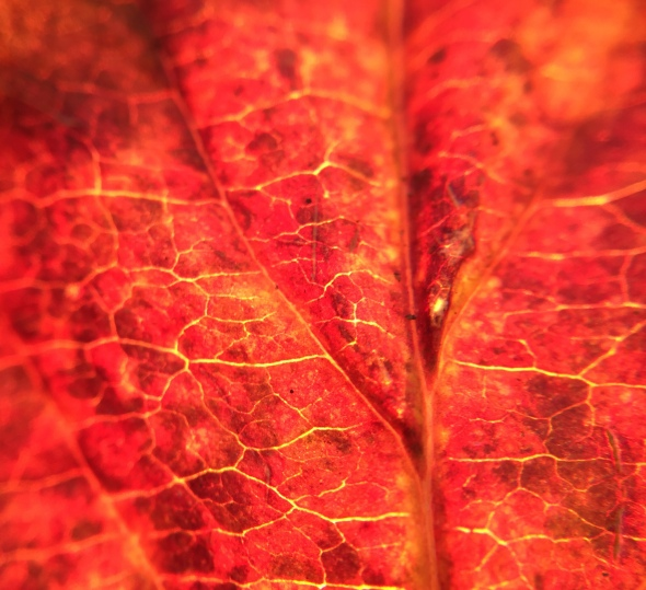 Backlit by the sun, this crimson leaf is a masterpiece. Photo by Jaklyn Larsen